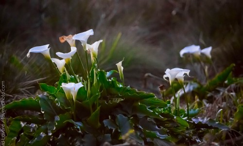 Calla lilies at sunset, Brookings, OR